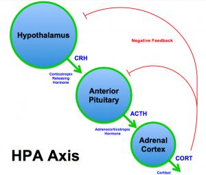 HPA_Axis_Diagram_Brian_M_Sweis_2012-2