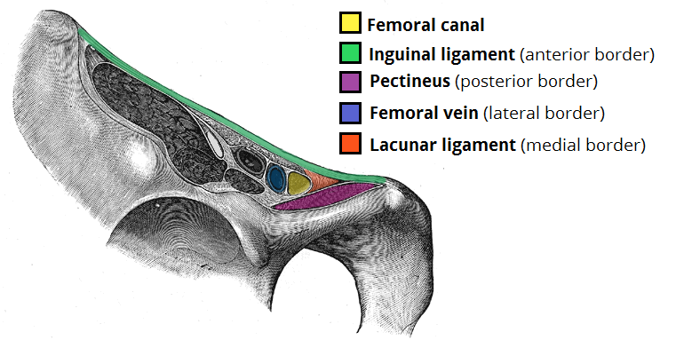 Borders-of-the-Femoral-Canal