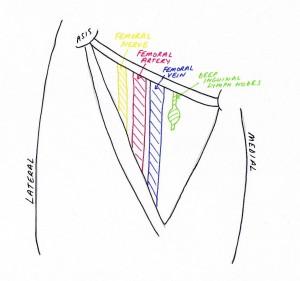 femoral triangle content