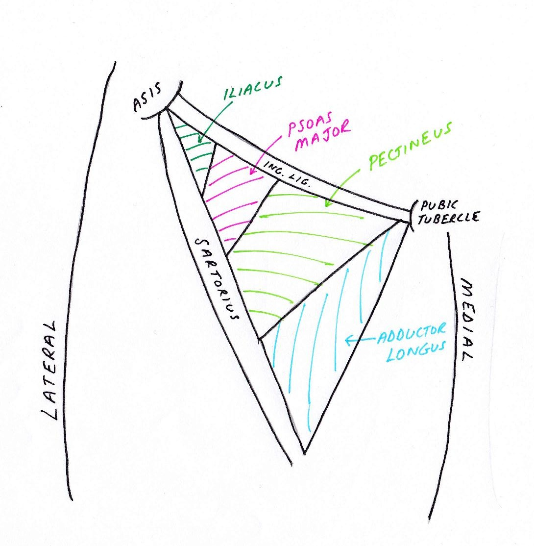 Lower Limb Anatomy: The Femoral Triangle - Ponder Med